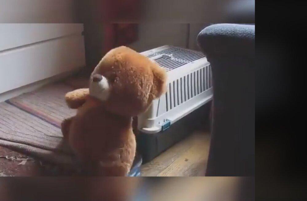 Naljakas VIDEO | Kui kaisukaru osutub suuremaks kui pesa ise, on ikka jama majas küll