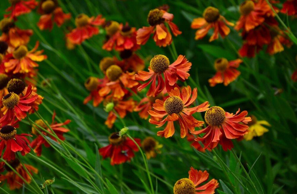 Vaata, mida istutada, et õisi jätkuks lillepeenrasse ka sügisel?