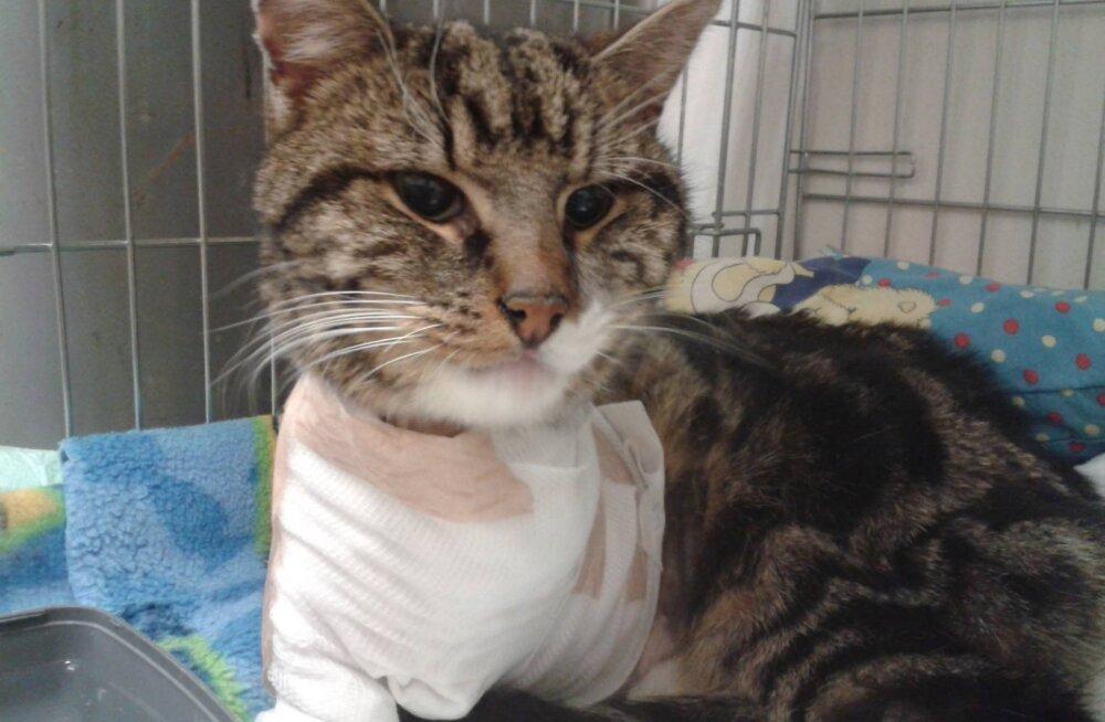 Kass Murri südamlik lugu: kuidas üks surma äärel olnud Saaremaa kass vabatahtlike toel taas elule aidati