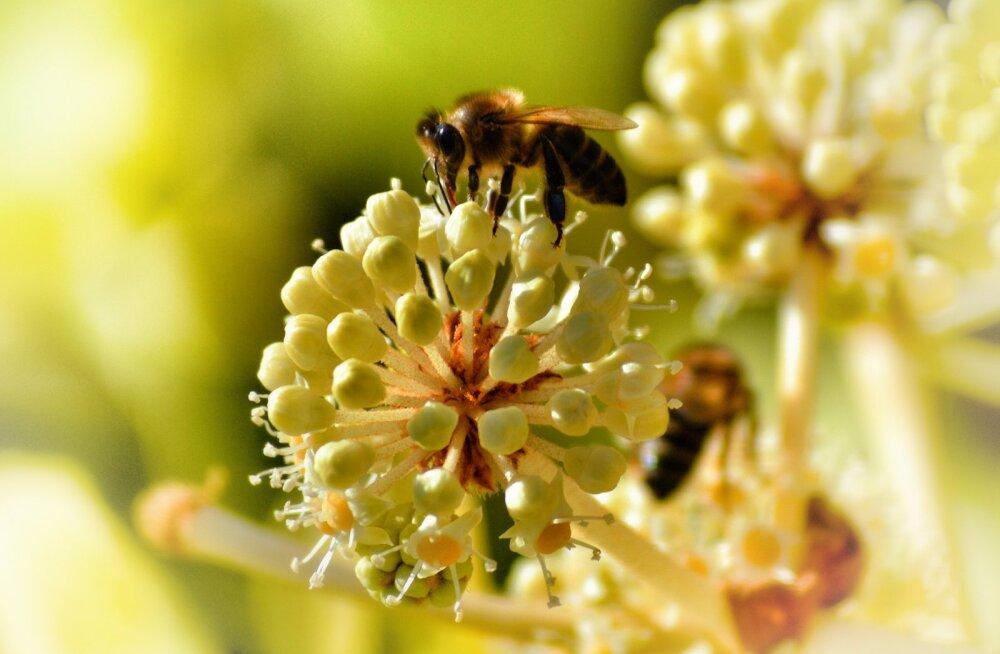 Põllumajanduskoda: taimekaitsetööde tõttu ei tohi tänavu hukkuda ükski mesilane