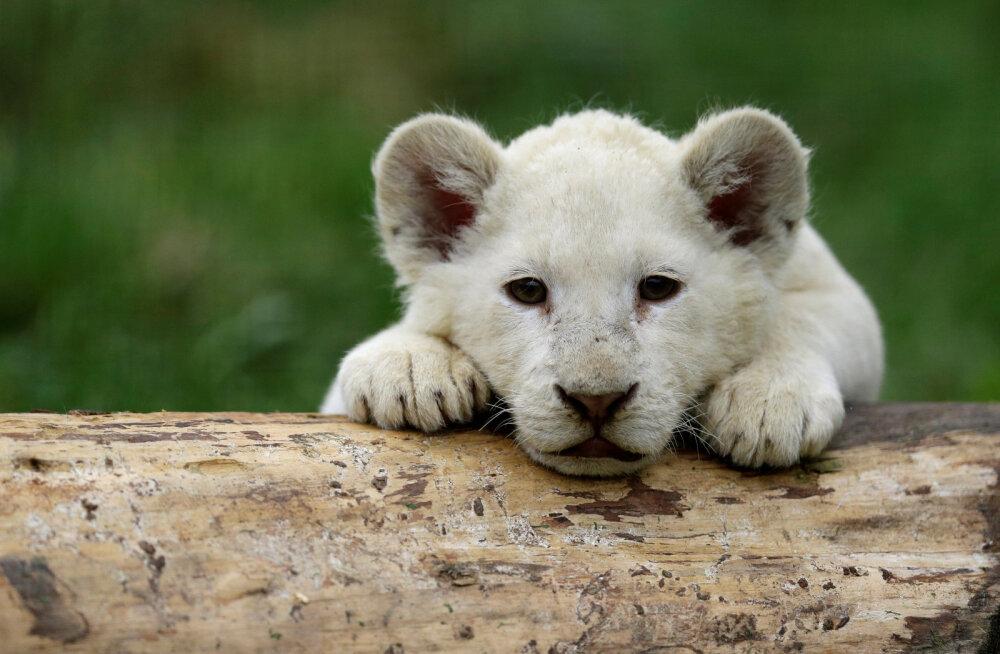 Haruldane vaatepilt: Lõuna-Aafrika Vabariigis sündis vabas looduses valge lõvikutsikas