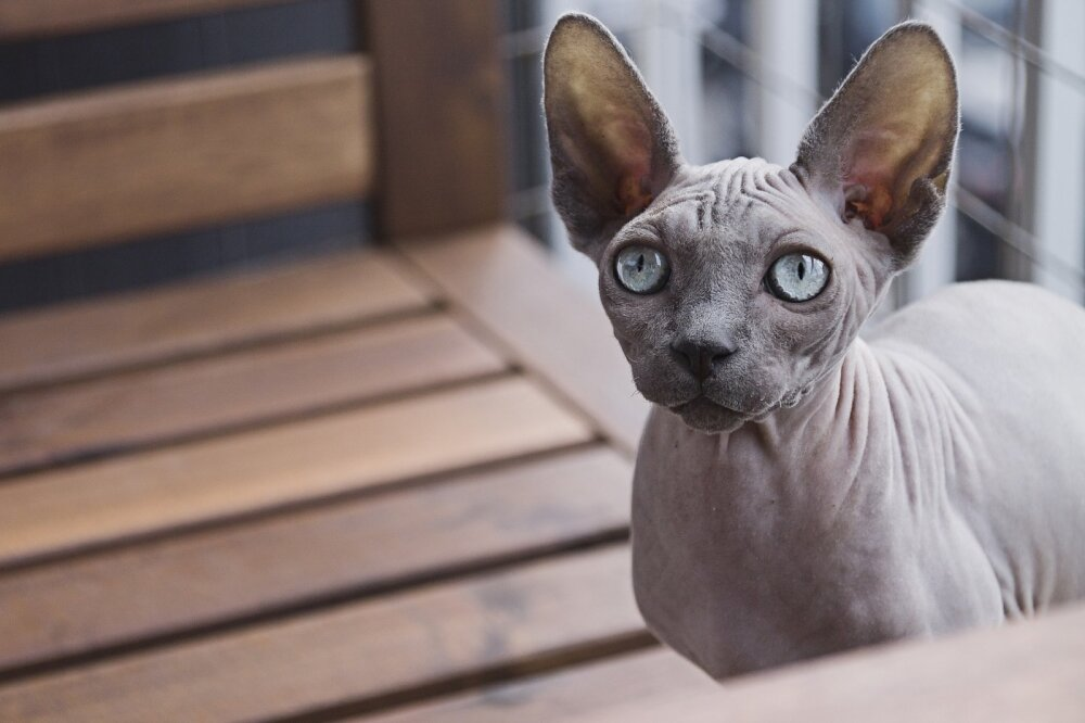 ТОП 5 пород кошек, которые не боятся воды