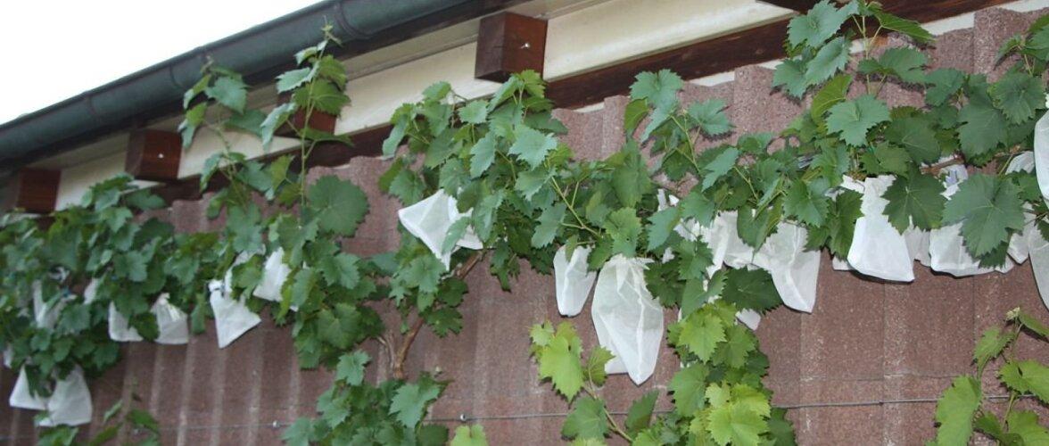 LUGEJA SOOVITAB: Kuidas kaitsta viinamarju herilaste eest