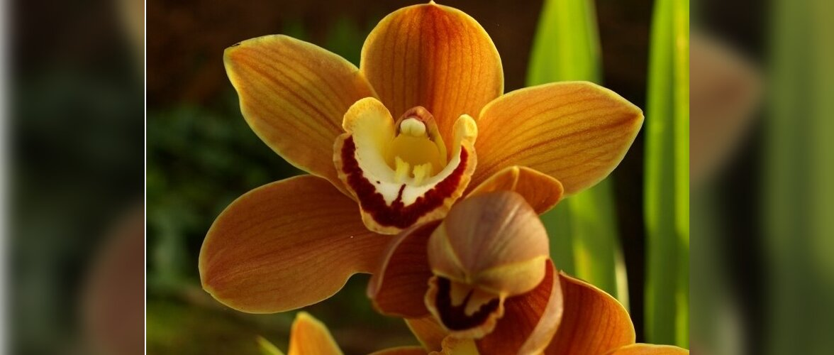 Tsümbiidium (Cymbidium Claude Pepper 'Cinnamon')