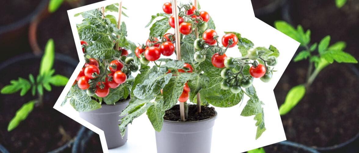 HULLUMEELNE LUGU | Aiand on suvelilledest tühjaks ostetud, teises on otsa lõppenud tomatitaimed