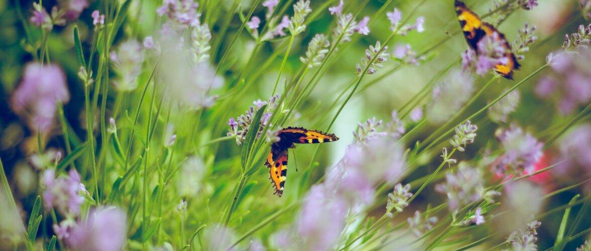 Vaata, milliste taimedega saab oma aeda liblikad meelitada!