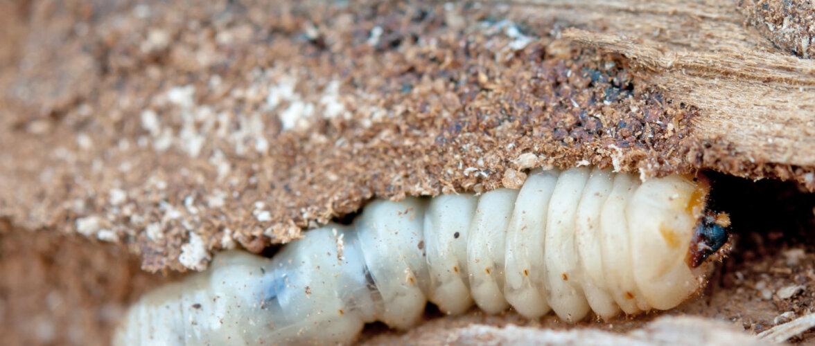 Puidukahjurid pistavad maja nahka! Mida saad oma puitmaja päästmiseks ette võtta?