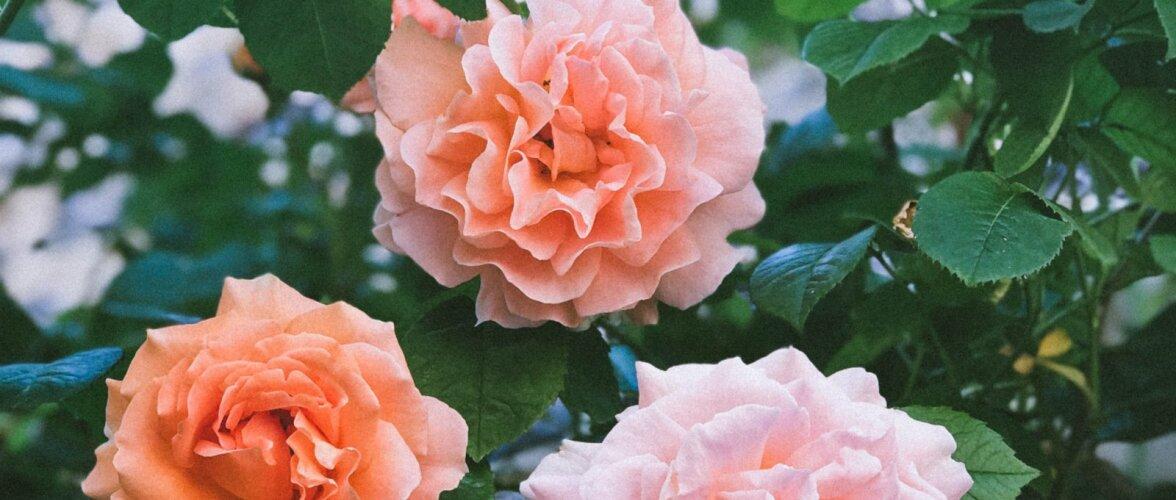 HEA TEADA | Mida tähendab roosisortidel lühend ADR?
