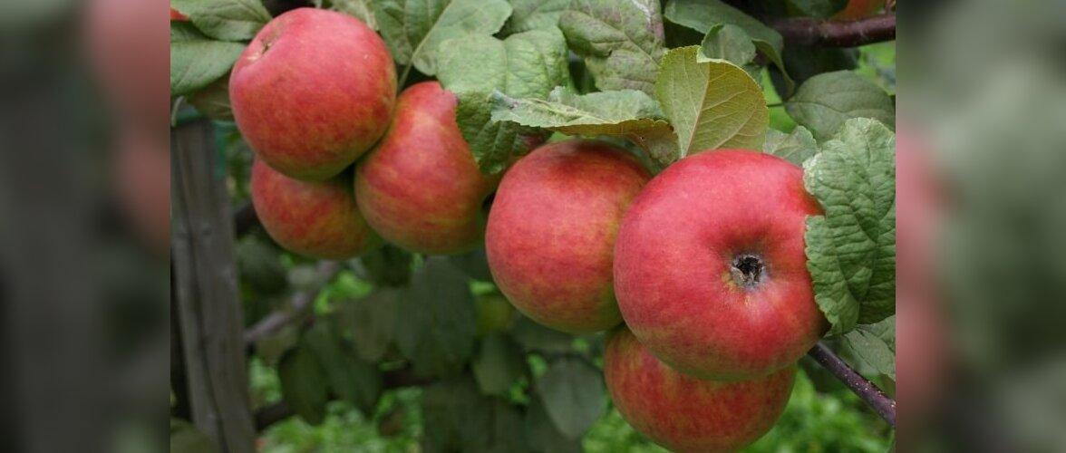 Punapõskne õunaaed