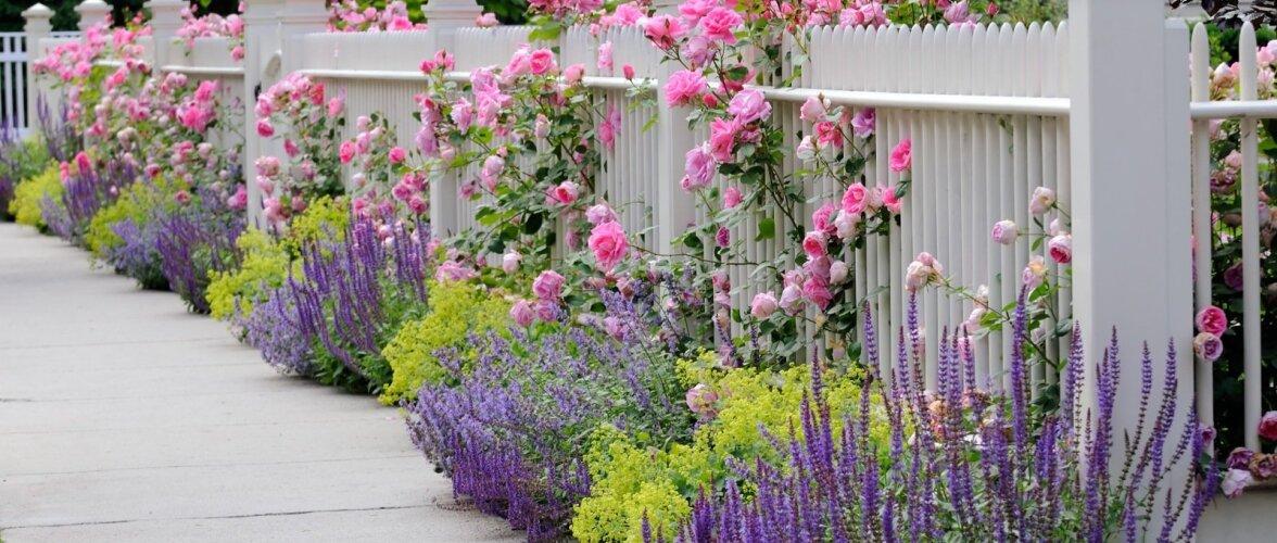 Roniroosid kaunistavad aeda.