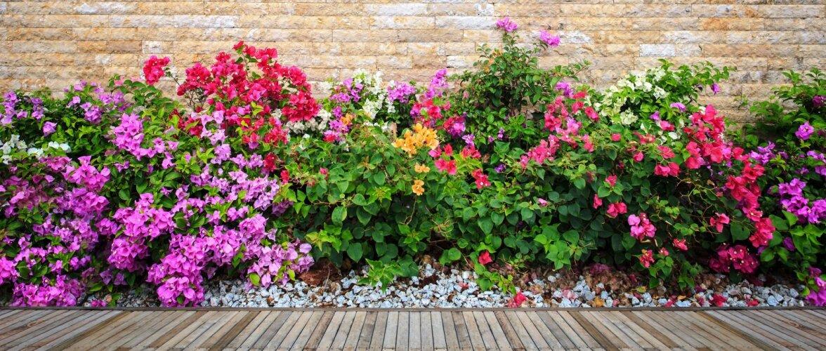 NÕUANDEID   Kuidas rajada aeda pilkupüüdev püsilillepeenar