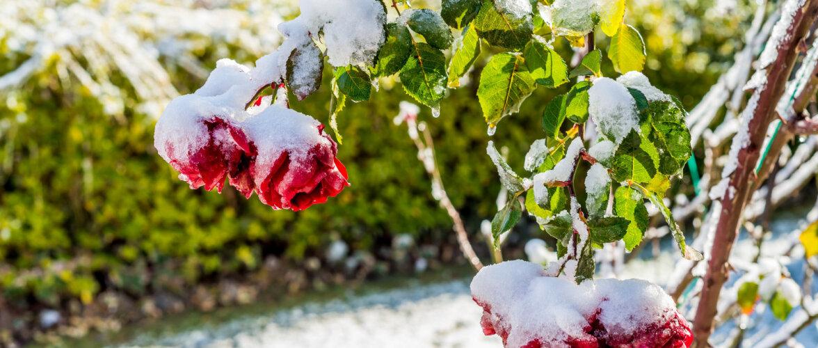 TALVEKATMINE AIAS | Milliseid taimi on kindlasti tarvis kaitsta külma eest ja mida selleks puhuks kasutada?