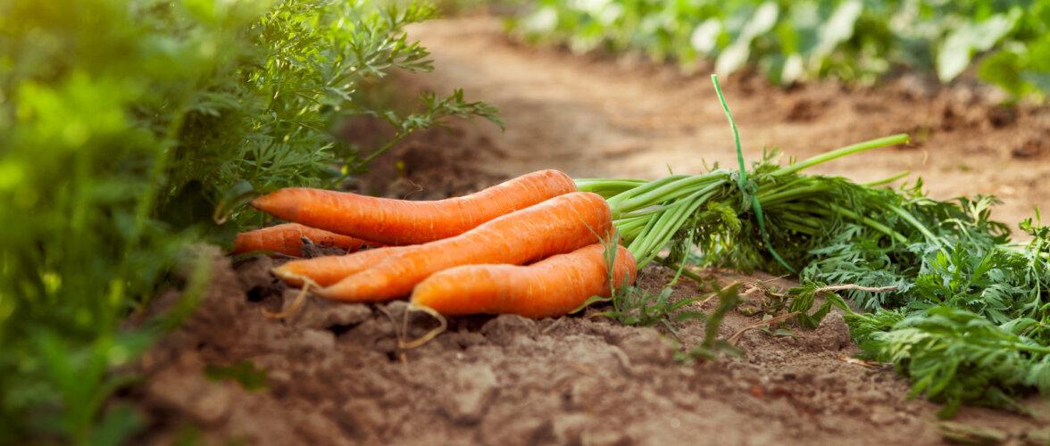 Kas tead, millist mulda vajavad porgand, sibul ja aeduba | Vaata järele!