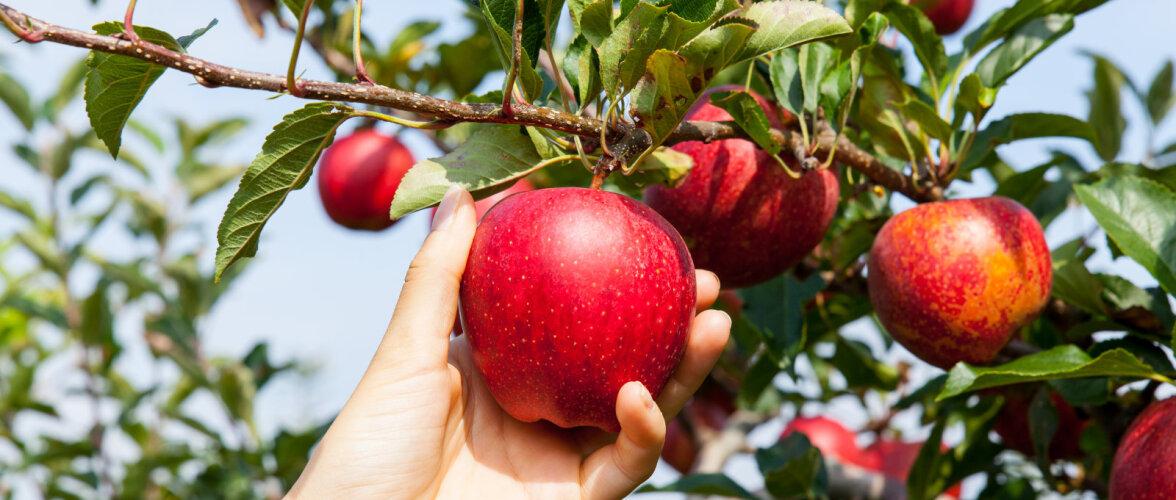 HEA TEADA | Kelle omad on naabri aeda ulatuvate okste viljad?