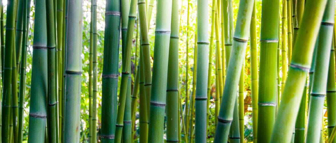 Bambustapeedi eripärad. Tea, mida rootapeedid ei talu ja kuidas neid puhastada