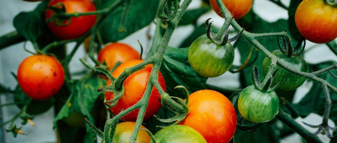 Aednik: põhjuseid, miks võiks tomateid ise kasvatada, on lõputult!