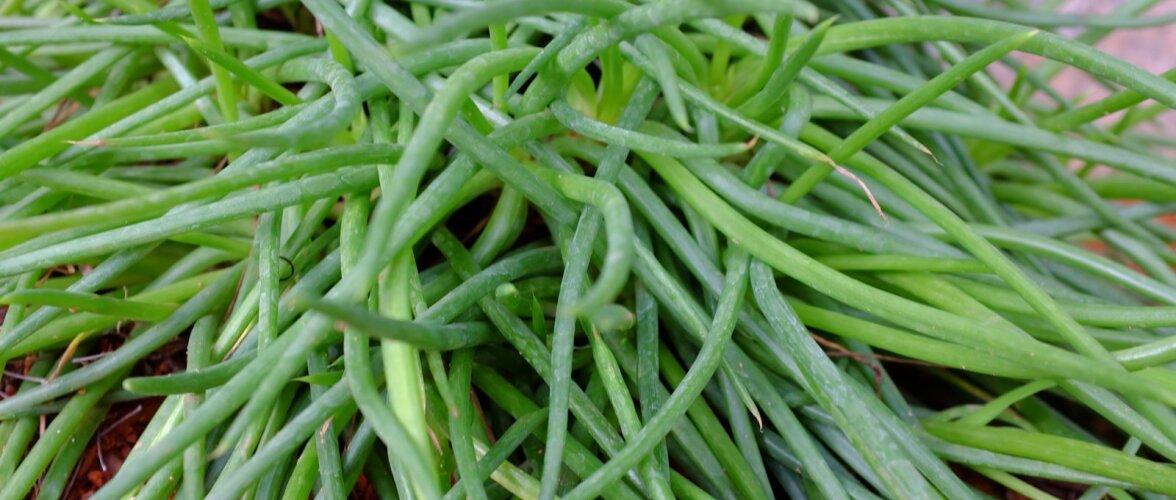 Bulbiine lehtedes leiduvat limast mahla on kasutatud nahahädade raviks.