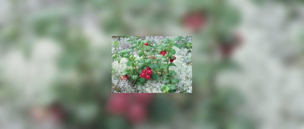 Hea mõte - metsamarjapeenar rododendroniga