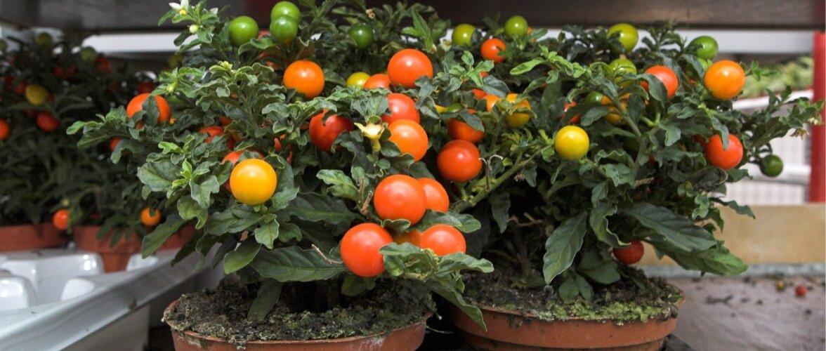 HEA TEADA: Tomatitaimede kasvatamise nipid