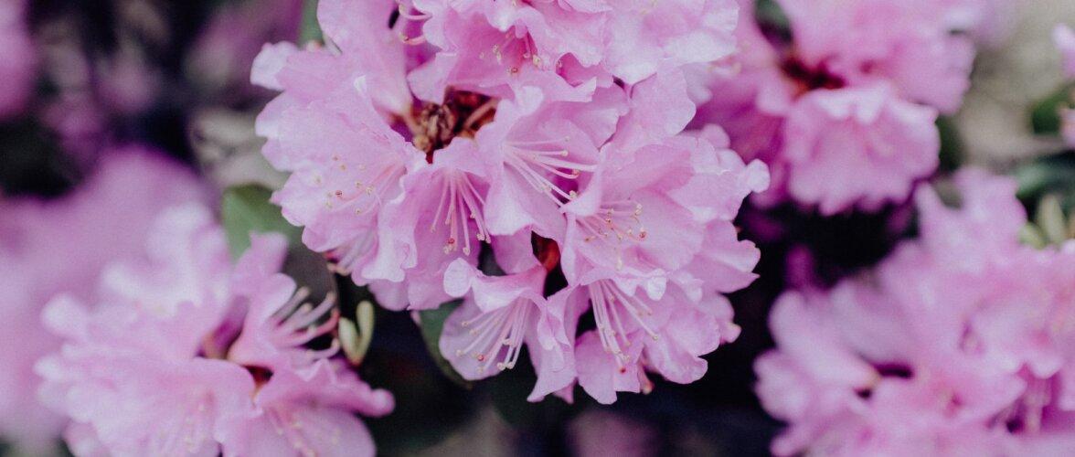 TASUB TEADA │ Mis on rododendroni kasvatamise edu kolm saladust?
