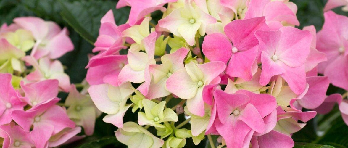 23.Suurelehine hortensia
