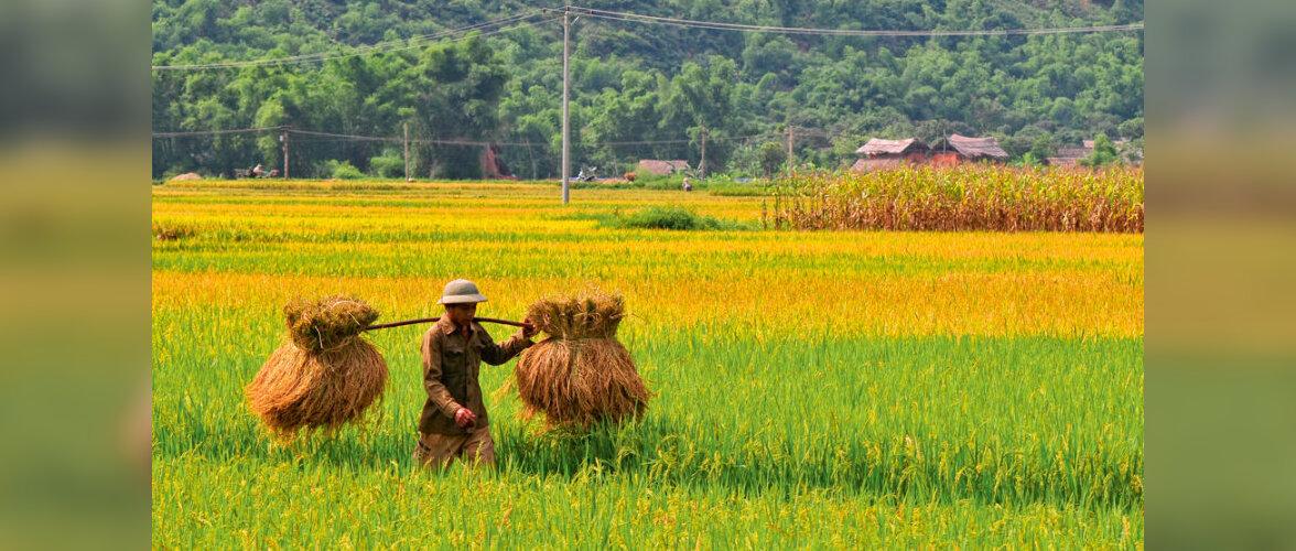 Vietnam - kitsuke riba rohelist kulda