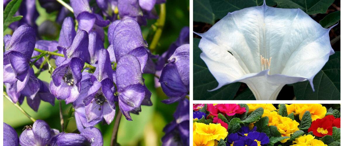 Need on kõige mürgisemad taimed sinu aias — kuidas ohtudest hoiduda?