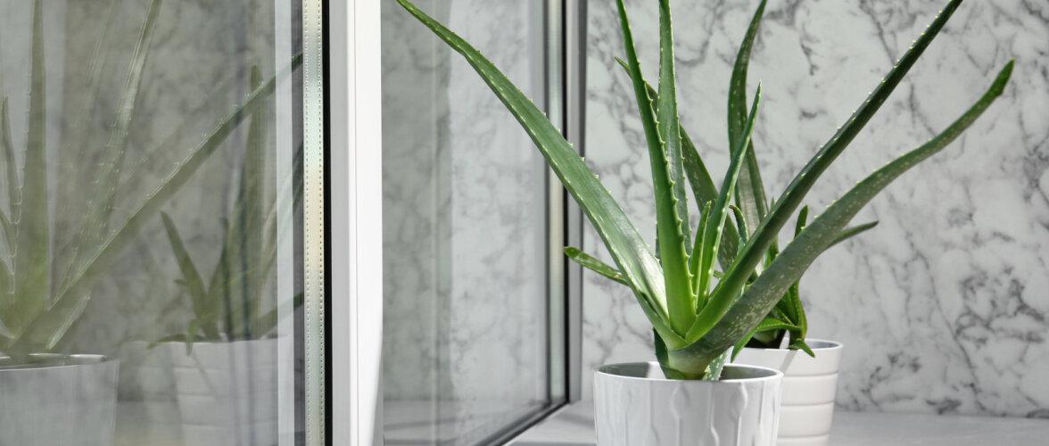 Pane imeravim aknalauale kasvama — aaloe kasulikest omadustest