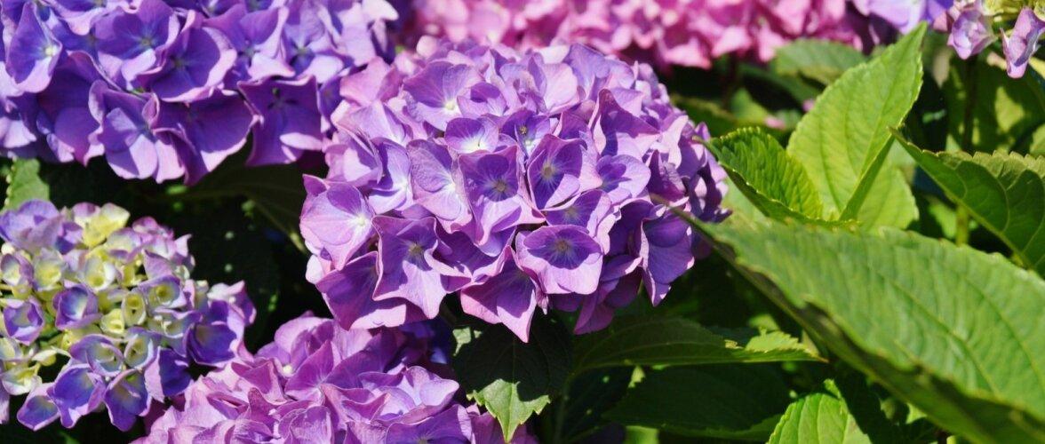 Tüüpiline suurelehine hortensia näeb välja selline