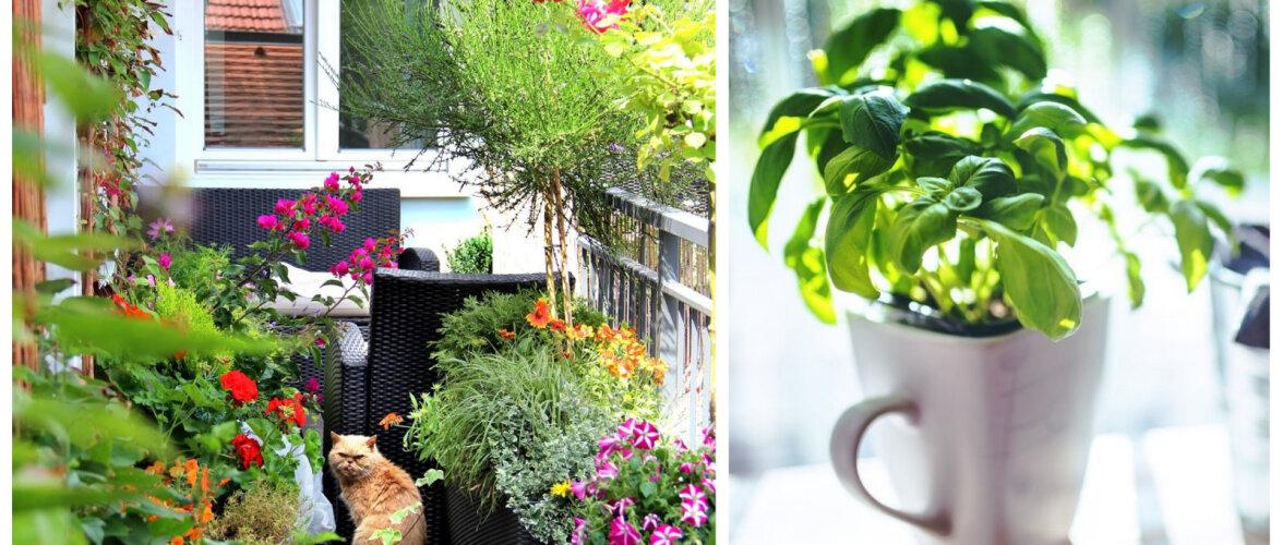 Linnaaedniku ABC: kuidas muuta rõdu lopsakaks aiaks