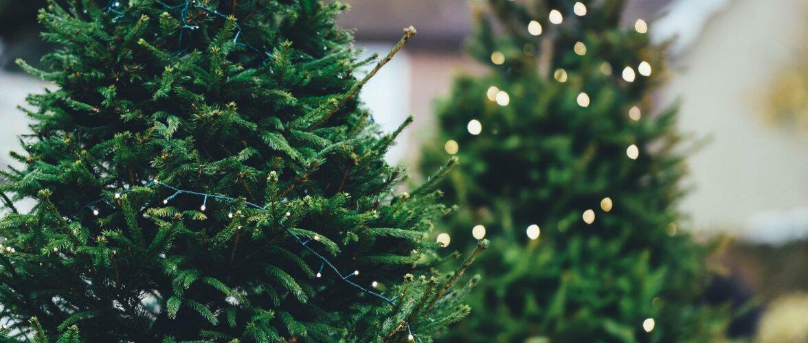 NÕUANDEID   Kuidas tuppa toodud kuuske ja jõulutaimi võimalikult kaua kauni ja värskena hoida?