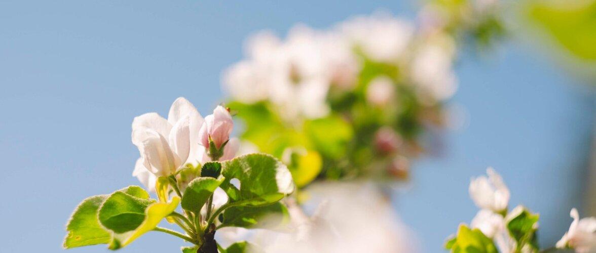 SOOVITUSI | Kuidas ja millal lõigata viljapuid ning marjapõõsaid?