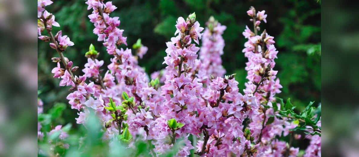 ФОТО и ВИДЕО   Виртуальное путешествие в Латвию. Смотрите, какая красота: у наших южных соседей уже цветут сакуры, тюльпаны и лесная сирень