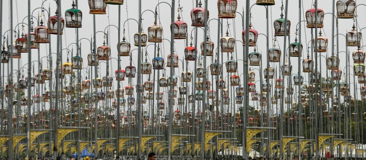 ФОТО   Спой, птичка: удивительный конкурс певчих птиц в Таиланде, или Кто такой бюльбюль?