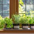 Seitse maitsetaime, mida saab ka korteris aknalaual kasvatada