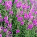 Põdrakanep õitseb läbi suve, elavdades oma roosade õieküünaldega meie teepervi ja metsaaluseid.