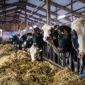 Lehmad laudas