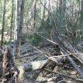 Üraskitõrje seisukohalt on oluline tormimurd võimalikult kiiresti metsast ära koristada.