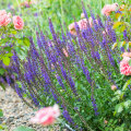 Millised taimed on roosidele kõige paremad peenrakaaslased?