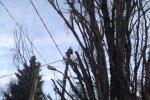 Elektrilevi liinihooldajad rikkusid omaniku keelust hoolimata väärtusliku tamme
