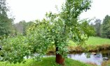 Vana õunapuu Anija vallas