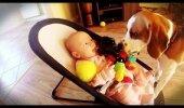 VIDEO | Beebilt mänguasja varastanud koer tunneb ennast süüdi ja otsib andestust