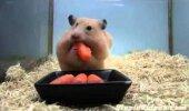 Humoorikas VIDEO: Vaata, kui palju porgandeid hamstri sisse mahub