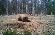 PÄEVAPILT: Karu teeb joogat
