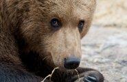 Karuga metsas kohtudes tuleb säilitada rahu ja püüda looma mitte häirida.