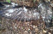 Hukkunud konnakotkapoeg osutus hiireviuks