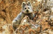 """NUNNU: Väga haruldane loom, tuntud kui """"müstiline jänes"""" on üle 20 aasta taaskord kaamerapildile jäädvustatud"""