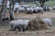 На ферме руководителя Eesti Energia пришлось произвести вынужденный убой животных
