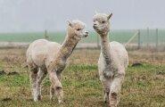 VAHVA: Alpakad töötavad lambakarjades valvurite ja kaitsjatena