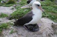 Vanus, see on lihtsalt number: maailma vanim albatross muudkui muneb!